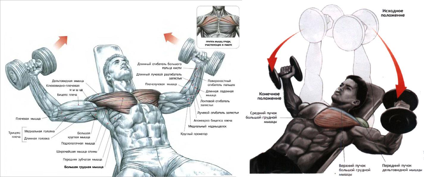 Накачать грудные мышцы с помощью гантелей